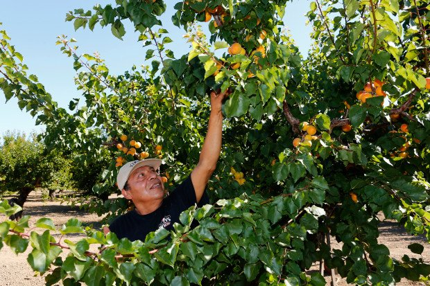 Juan Hernandez reaches up for apricots at a Santa Clara Valley orchard.